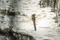 dragonfly sitting on birch trunk close-up Royalty Free Stock Photo