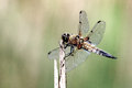 Dragonfly on a sunny afternoon Stock Photography