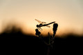 Dragonfly sunset branch Royalty Free Stock Photo