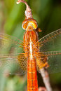 Dragonfly sympetrum sp image of a accomplished like photo of approximation Stock Images