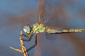 Dragonfly sympetrum sp image of a accomplished like photo of approximation Royalty Free Stock Photography