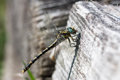 Dragonfly in a trunk Royalty Free Stock Photo