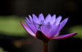 Dragonfly on water lily brightly colored or lotus flower with Stock Photography