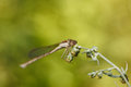 Dragonfly on weed grass Royalty Free Stock Photo