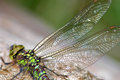 Dragonfly wings Royalty Free Stock Photo