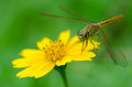 Dragonfly with yellow daisy flower Royalty Free Stock Image