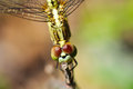 Dragonfly the yellow dragon fly on natural Royalty Free Stock Photo