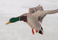 Drake mallard in flight a colorful flies to a spot of open water an otherwise frozen landscape the winter northwoods Royalty Free Stock Photography