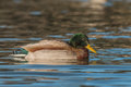 Drake mallard on lake a swimming a Stock Photo