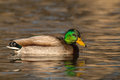 Drake mallard swimming a on a lake Stock Image