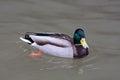 Drake of mallard on the water Royalty Free Stock Photo
