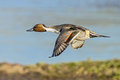 Northern Pintail Drake - Anas acuta, in Flight. Royalty Free Stock Photo