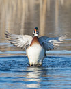 Drake wood duck stretching up and it s wings Stock Photos