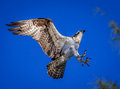 Dramatic landing of Osprey in tree Royalty Free Stock Photo