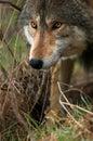 Dramatic Lighting Timber Wolf Stock Photo