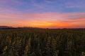 Dramatic sunset sky over full bloom sunflower field Royalty Free Stock Photo