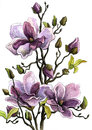 Drawing Branch of a Blossoming Magnolia. Paper, water color, helium handle