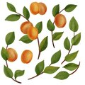 drawing branches of apricot tree with fruits and leaves Royalty Free Stock Photo