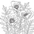 Drawing of poppy flowers