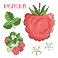Drawn berry of raspberry, raspberry`s flowers, leaves and sprout the isolated vector set