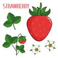 Drawn berry of strawberry, strawberry`s flowers, leaves and sprout the isolated vector collection