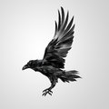 Drawn realistic flying isolated crow Royalty Free Stock Photo