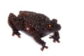 Dreadful mossy frog theloderma horridum on white rare spieces of isolated Stock Photos