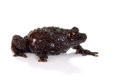 Dreadful mossy frog theloderma horridum on white rare spieces of isolated Stock Image