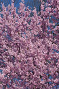 Dream catcher flowering cherry prunus x hybrid derived from okame prunus x incam okame Stock Image