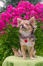 Dreaming chihuahua puppy in summer garden Royalty Free Stock Photography