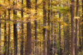 Dreamlike dahurian larch the background of autumnal forest scientific name larix principis rupprechtii Stock Image