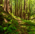 Dreamy California Redwoods Stock Photography