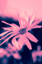 Dreamy daisy in pink close up Royalty Free Stock Image