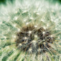 Dreamy dandelion macro with blur background Stock Photos