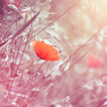 Dreamy floral poppy background with pink toning lat papaver rhoeas Stock Photo