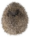 Dreamy Hedgehog Royalty Free Stock Image