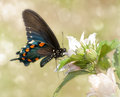 Dreamy image of a Pipevine Swallowtail butterfly Royalty Free Stock Photos