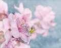 Dreamy image of soft pink peach blossoms on light blue bokeh background Stock Photography