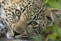 Dreamy leopard cub Stock Images
