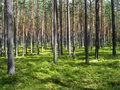 Dreamy pine forest Royalty Free Stock Photo