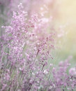 Dreamy pink flowers field beautiful fresh purple abstract floral background sun light soft focus spring season Royalty Free Stock Images