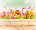 Dreamy spring background of colourful tulips behind a rustic wooden fence or tabletop with a soft blur effect and focus to three Stock Photos