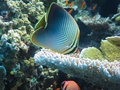 Dreieckige Butterflyfish, Great Barrier Reef Lizenzfreies Stockbild