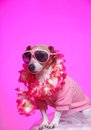 Dress up party dog a cute little attentive jack russell terrier with lipstick kiss on his cheek sunglasses on and dressed in fancy Stock Photos