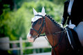 Dressage championship young bay horse on Royalty Free Stock Photos