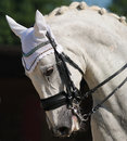Dressage: portrait of gray horse Stock Image