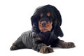 Dressed cocker spaniel Royalty Free Stock Photography