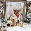 Dressed-up Chihuahua sitting on a bridge Royalty Free Stock Photos