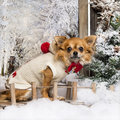 Dressed-up Chihuahua sitting on a bridge Royalty Free Stock Photography