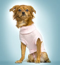 Dressed up crossbreed dog sitting on blue gradient background a Stock Image